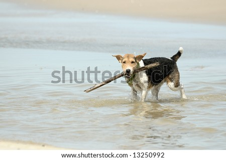 Foxterier playing on the beach, summer - stock photo