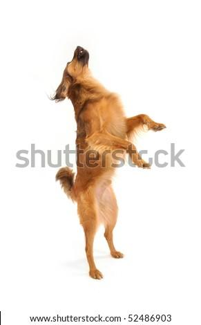 foxy dog - stock photo