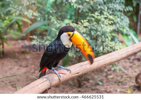 Foz do Iguazu, Brazil - july 9, 2016: Toucan bird in a tree branch at the rain forest early in the morning.
