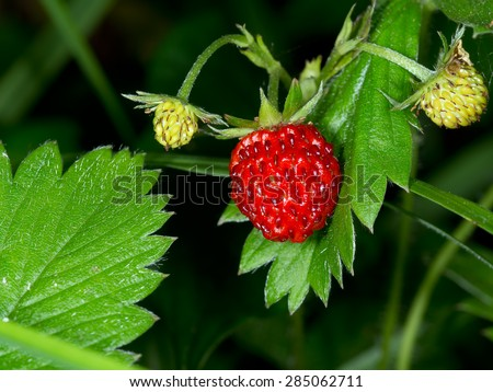 Fragaria vesca, commonly called wild strawberry, woodland strawberry, Alpine strawberry, European strawberry, fraise des bois. - stock photo