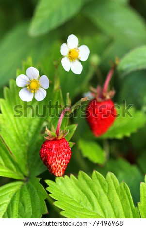 Fragaria vesca, commonly known as the Woodland Strawberry, Other names for this species include Fraises des Bois, Wild (European) Strawberry, European Strawberry and Alpine Strawberry - vertical - stock photo
