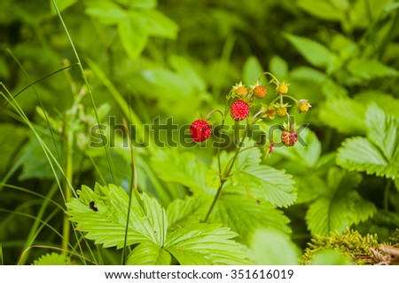Fragaria Vesca L., (Commonly Called Wild Strawberry, Woodland Strawberry, Alpine Strawberry, European Strawberry, Fraise Des Bois)  - stock photo