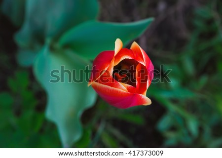fragile beauty of red tulip flower in a garden - stock photo