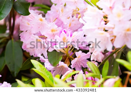 fragile buds variety of rhododendrons, natural background - stock photo