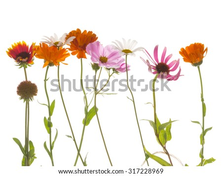 fragile delicate beautiful Gaillardia flowers, white daisy, bright calendula, echinacea and pink kosmeya isolated on a white background - stock photo