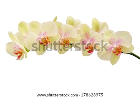 Fragile soft tint flower of orchid isolated on white - stock photo