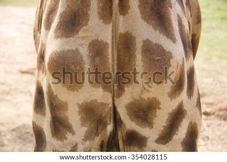 Fragment of a giraffe chest - stock photo