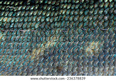 fragment of fish scale, Northern pike