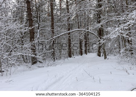 Fragment of winter forest with pine and birch trees covered with snow during a snowfall