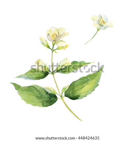 Fragrant and fresh jasmine branch. Watercolor illustration. Isolated on white background. - stock photo