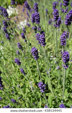 Fragrant blue stems of Hidcote Blue lavender (lavendula angustifolia)