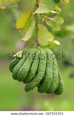 fragrant Buddha's hand or fingered citron fruit, Citrus medica  - stock photo