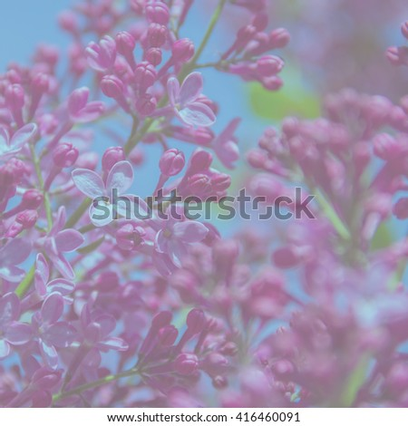Fragrant flowers and buds of lilac. Lilac blossoms (Syringa vulgaris). Shallow depth of field, selective focus. - stock photo