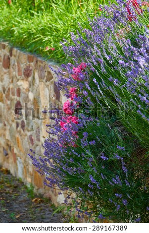 Fragrant lavender and beautiful roses on a garden wall made of natural stone