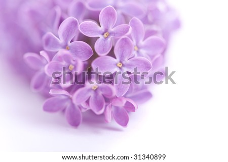 Fragrant lilac blossoms (Syringa vulgaris) over white. Shallow depth of field, selective focus