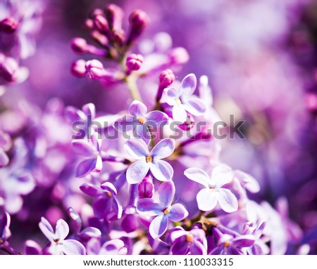 Fragrant lilac blossoms (Syringa vulgaris). Shallow depth of field, selective focus - stock photo