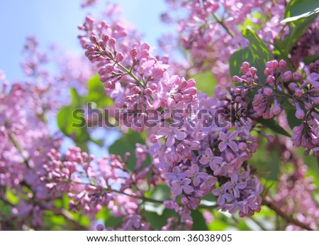 Fragrant lilac bush in the spring garden - stock photo