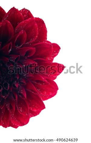 Fragrant red Dahlia on white background isolated. Flower with water drops on petals. For design registration. With place for text. Vertical photos.
