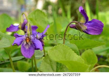 Fragrant spring Violet flowers among griin grass and leaves on a lawn in spring time - stock photo