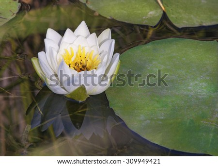 Fragrant Water-lily Nymphaea Odorata being Pollinated by flies, Ottawa Valley, Ontario