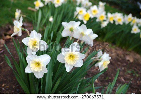 Fragrant white narcissus daffodil flowers with a yellow corolla