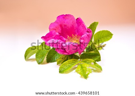 Fragrant wild rose flower with green leaves