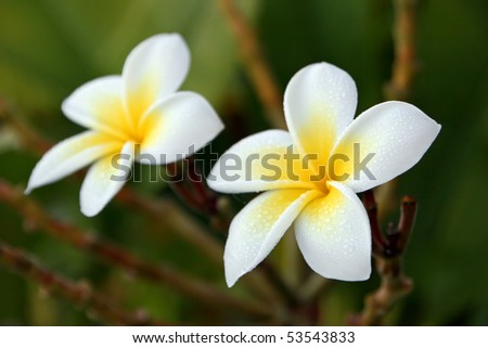 fragrant yellow Plumeria flower with morning dew - stock photo