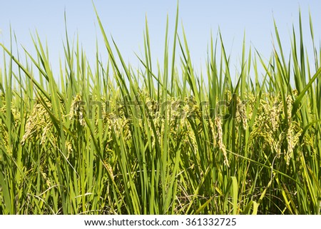 Fram field with ripe rice under blue sky