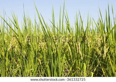 Fram field with ripe rice under blue sky - stock photo