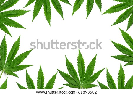 Frame formed with hemp (marijuana) leaves isolated on white. - stock photo