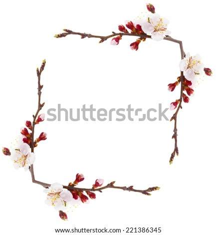 Frame of beautiful apricot blossom isolated on white - stock photo