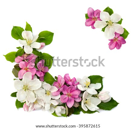 Frame of flowers apple tree on a white background with space for text. - stock photo