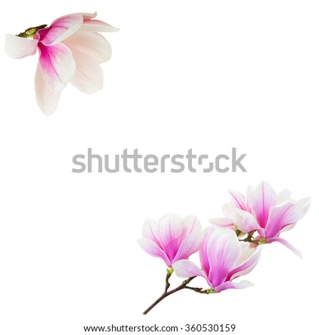 Frame of fresh blooming  pink magnolia   flowers isolated on white background - stock photo