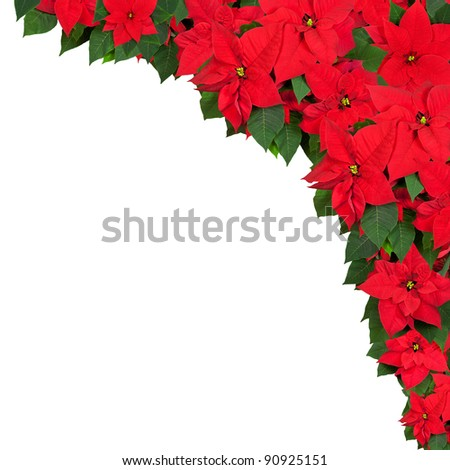 Frame of poinsettia flowers isolated on white. - stock photo