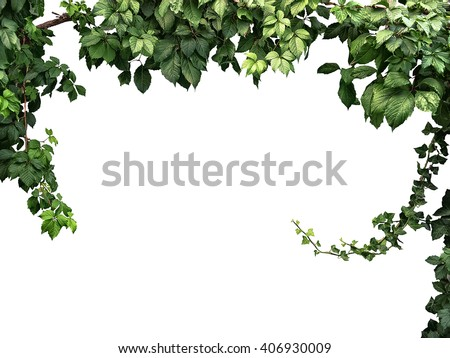 frame of the climbing plant isolated on white background - stock photo
