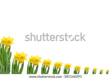 Frame out daffodils against white background.