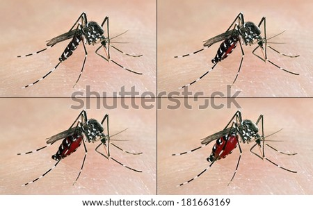 frames of a tiger mosquito (Aedes albopictus) having a blood meal