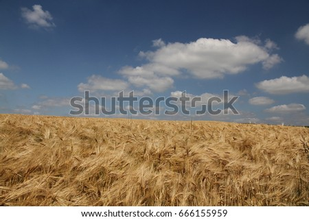 France and its fields of wheat under the blue sky