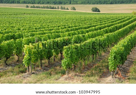 France, the vineyard of Sauternais in summer