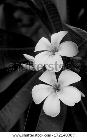 Frangipani are native to many tropical climates and have a beautiful, graphic simplicity. Showing them in black and white enhances their simple, symmetrical form. - stock photo