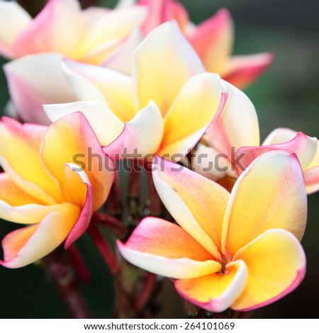 Frangipani close-up. Tropical flower with fragrant scent - stock photo