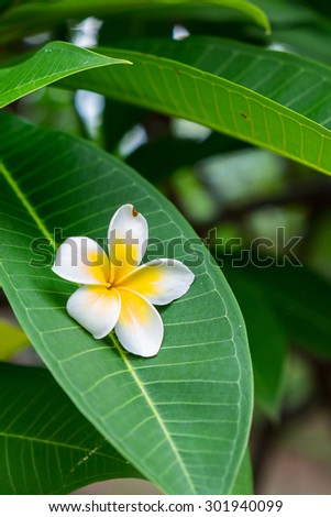 frangipani flower - stock photo