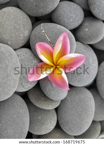 frangipani flower and gray background