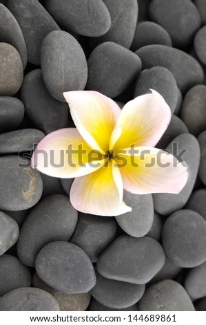 frangipani flower and gray stones background