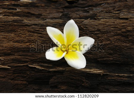 frangipani flower and rustic wood texture - stock photo