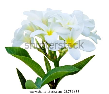 Frangipani flower branch isolated on white background - stock photo