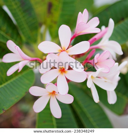Frangipani flower in pink and white color - stock photo