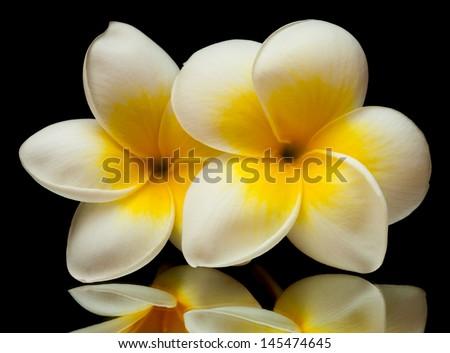 frangipani flower isolated on black background - stock photo