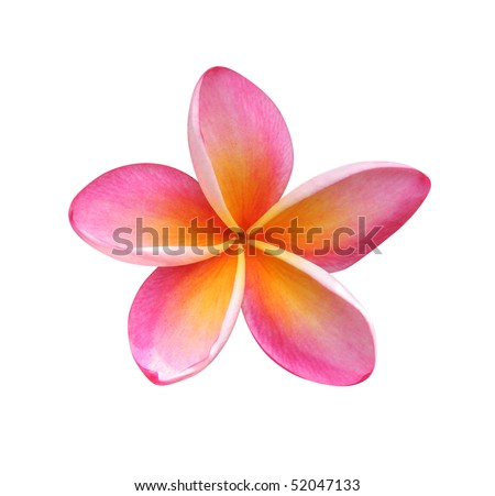 Frangipani flower isolated on white - stock photo