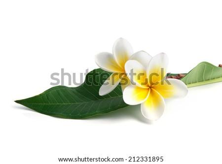 frangipani flower isolated white background  - stock photo